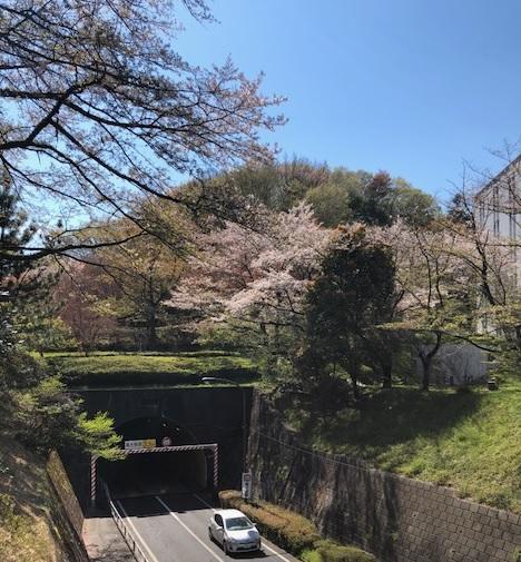 20190413sakura11.jpg